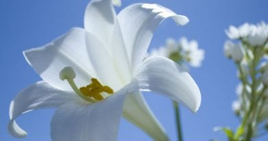 Easter-Lilies pic 2